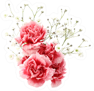 Carnation And Gypsophila Sticker