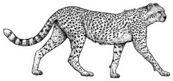 Cheetah Illustration, Drawing, Engraving Style Sticker