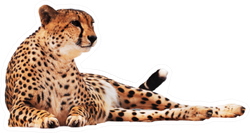 Cheetah Spotted Isolated At White Sticker