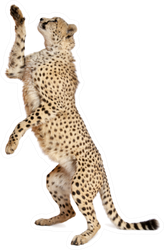 Cheetah, Standing Up And Reaching Sticker