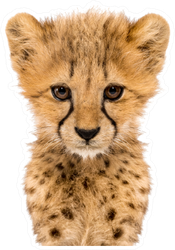 Close-up Cheetah Cub Sticker