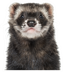 Close-up Of A Ferret Sticker