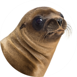 Close-up Of A Young California Sea Lion Sticker