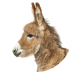 Close-up Of A Young Provence Donkey Sticker