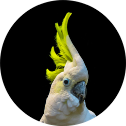 Close Up Of Yellow Crested Cockatoo Sticker
