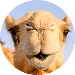 Closeup Of A Camel's Nose And Mouth Sticker