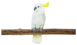 Cockatoo Bird Perched Tree Branch Sticker