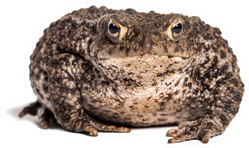 Common Toad In Front Of White Sticker