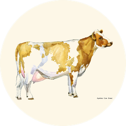 Cow Watercolor Illustration. Ayrshire Breed. Sticker