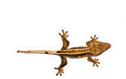 Crested Gecko Sticker