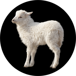 Cute Fluffy White Lamb Isolated On Black Sticker
