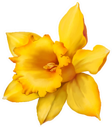 Daffodil Flower Or Narcissus Isolated On White Sticker