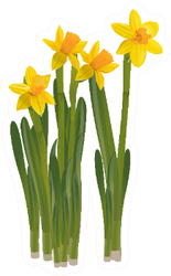 Daffodils On A White Background Sticker