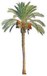 Date Palm Sticker
