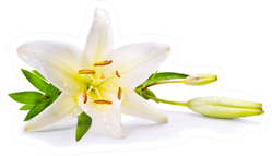 Easter Lily Flower Isolated On White Sticker