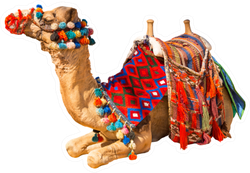 Egyptian Decorated Camel With Saddle Isolated On White Sticker