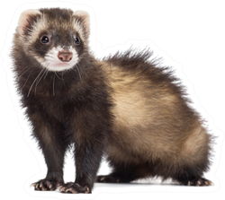 Ferret, 7 Months Old Sticker