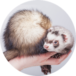 Ferret, Cute Fluffy Pet In Hand Sticker
