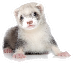 Ferret Puppy On A White Background Sticker