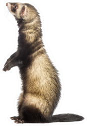 Ferret Standing On Hind Legs And Looking Up Sticker