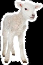 Few Days Old Lamb Standing Sticker