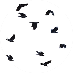 Flying Crows White Background Sticker