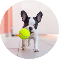 French Bulldog Puppy Playing With Tennis Ball Sticker