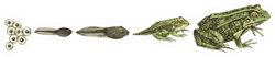 Frog Metamorphosis. 5 Stages Of Frogs Life Cycle Sticker