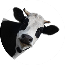 Funny Cow Isolated On A White Sticker
