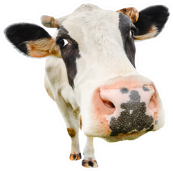 Funny Cute Cow Close Up Isolated On White Sticker