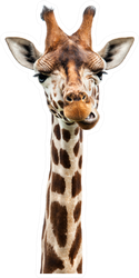 Funny Giraffe's Face Sticker