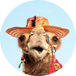 Funny Portrait Of Camel With Hat Sticker