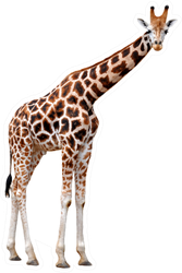 Giraffe Isolated Sticker