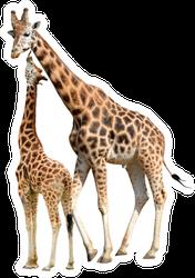 Giraffes Isolated On White Background Sticker