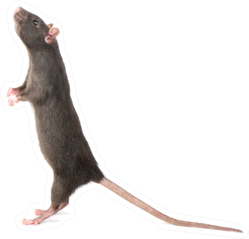 Gray Rat Standing On Hind Legs Sticker