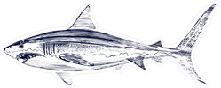 Great White Shark Drawing Sticker