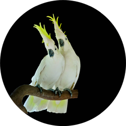 Greater Sulphur-crested Cockatoo Isolated On Black Sticker
