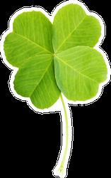 Green Four-leaf Clover Leaf Realistic Sticker