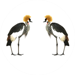 Grey Crowned Crane Isolated On White Sticker
