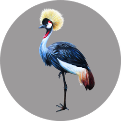 Grey Crowned Crane On Gray Background Sticker