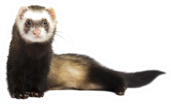 Grey Ferret In Full Growth Lies Down Sticker