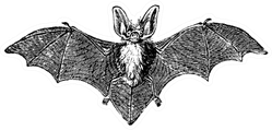 Grey Long-eared Bat Vintage Engraved Illustration Sticker