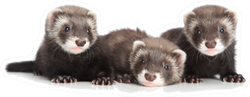 Group Of Ferret Puppies Lying Down Sticker