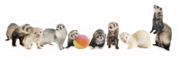 Group Of Ferrets In Front Of White Background Sticker