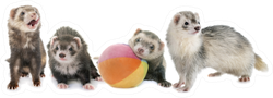 Group Of Ferrets With Ball Sticker