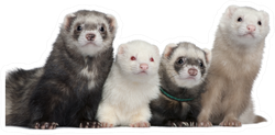 Group Of Four Ferrets Sticker