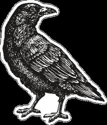 Hand-drawn Black Crow Bird Sketch Sticker