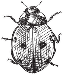 Hand Drawn Ladybug Sketch Sticker