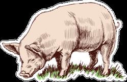 Hand Drawn Sketch Pig Sticker