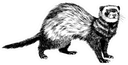 Hand Drawn Vintage Illustration Of Ferret Sticker